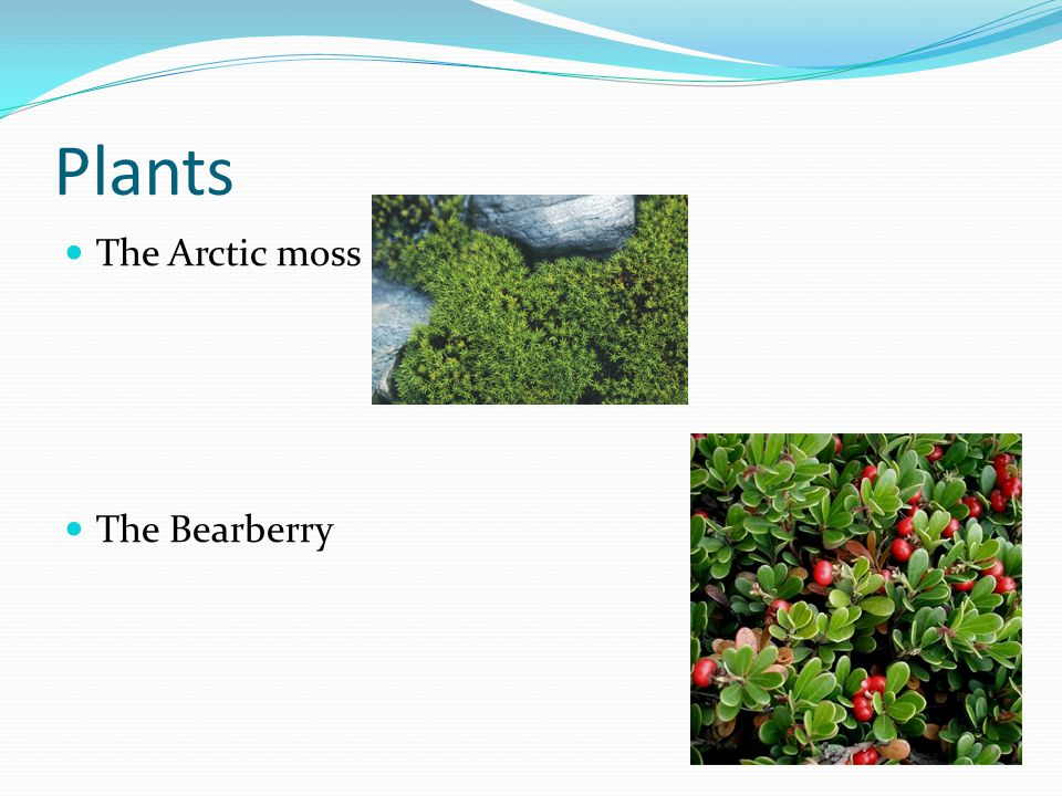 Plants The Arctic moss The Bearberry