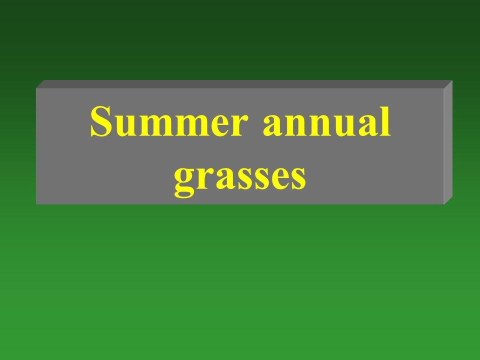 Summer annual grasses