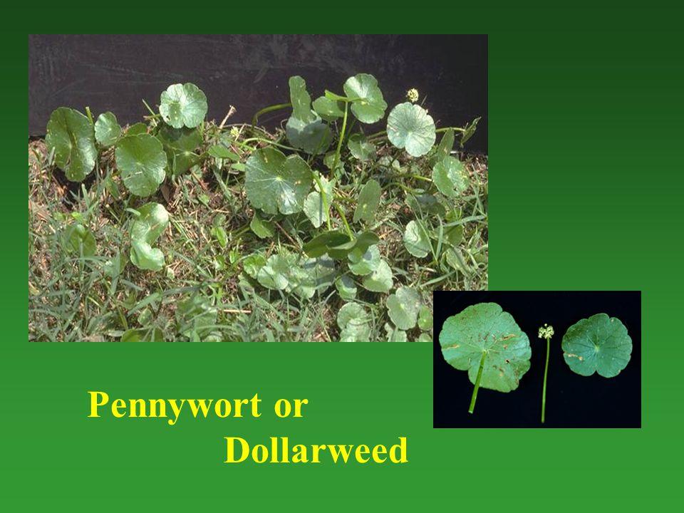 Pennywort or Dollarweed