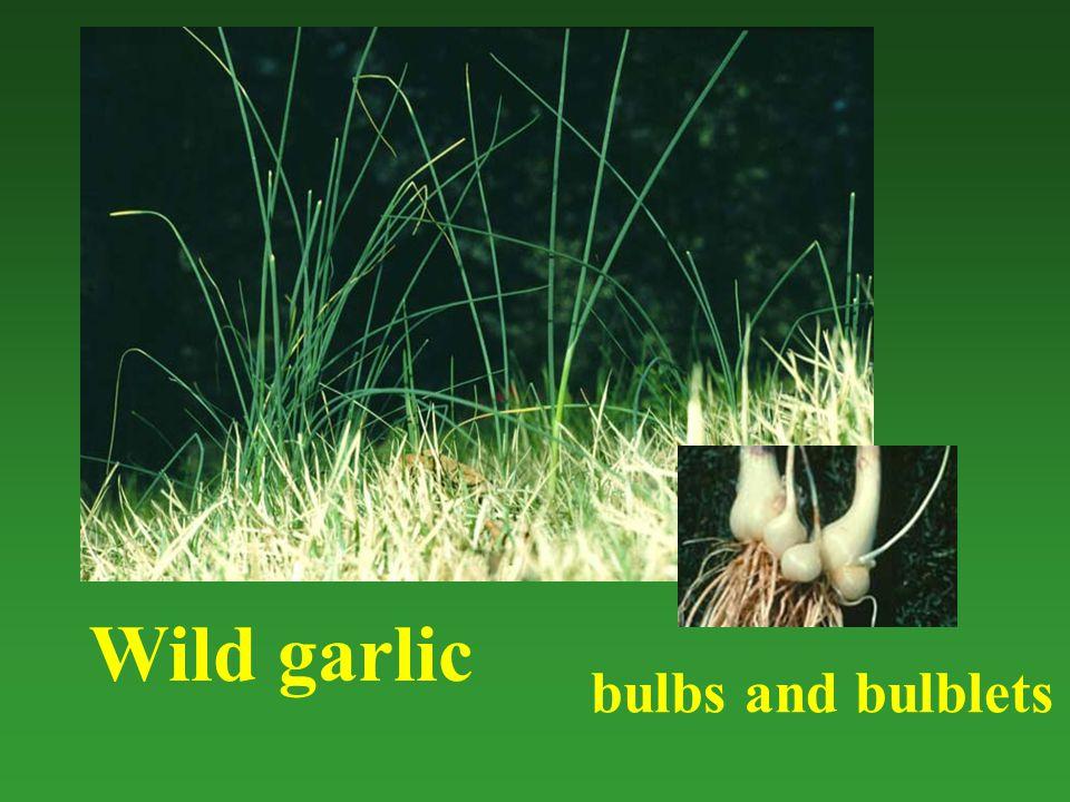 Wild garlic bulbs and bulblets