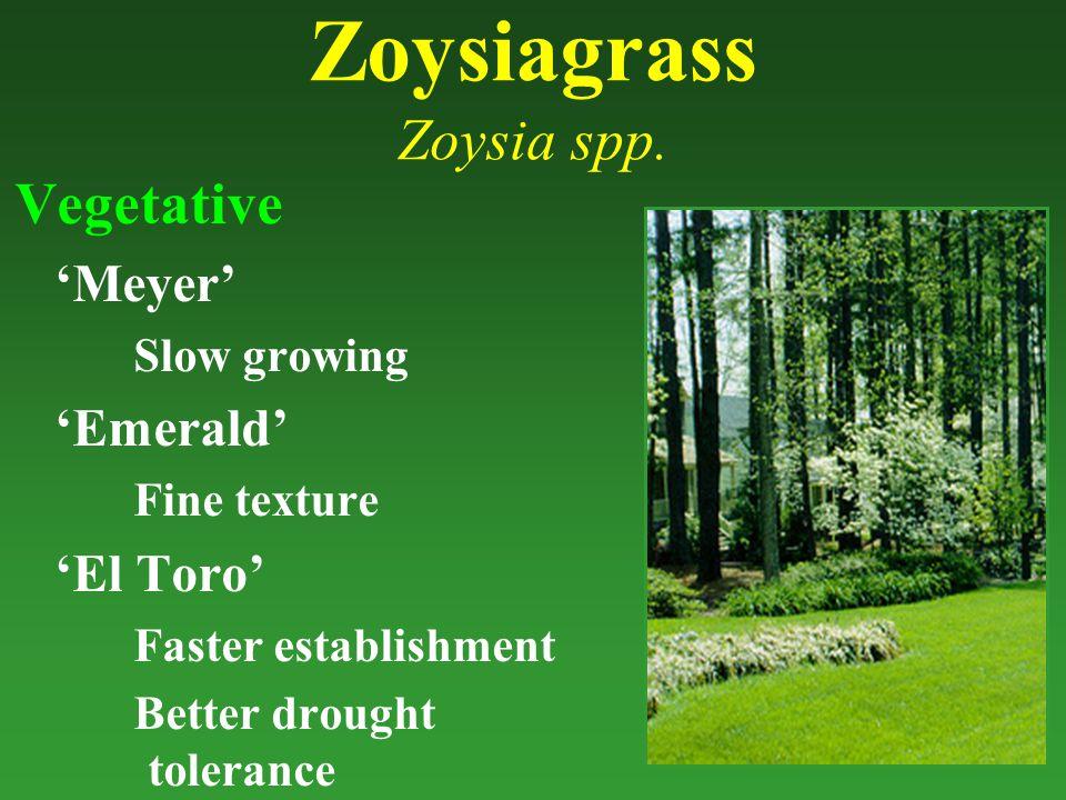 Zoysiagrass Zoysia spp.