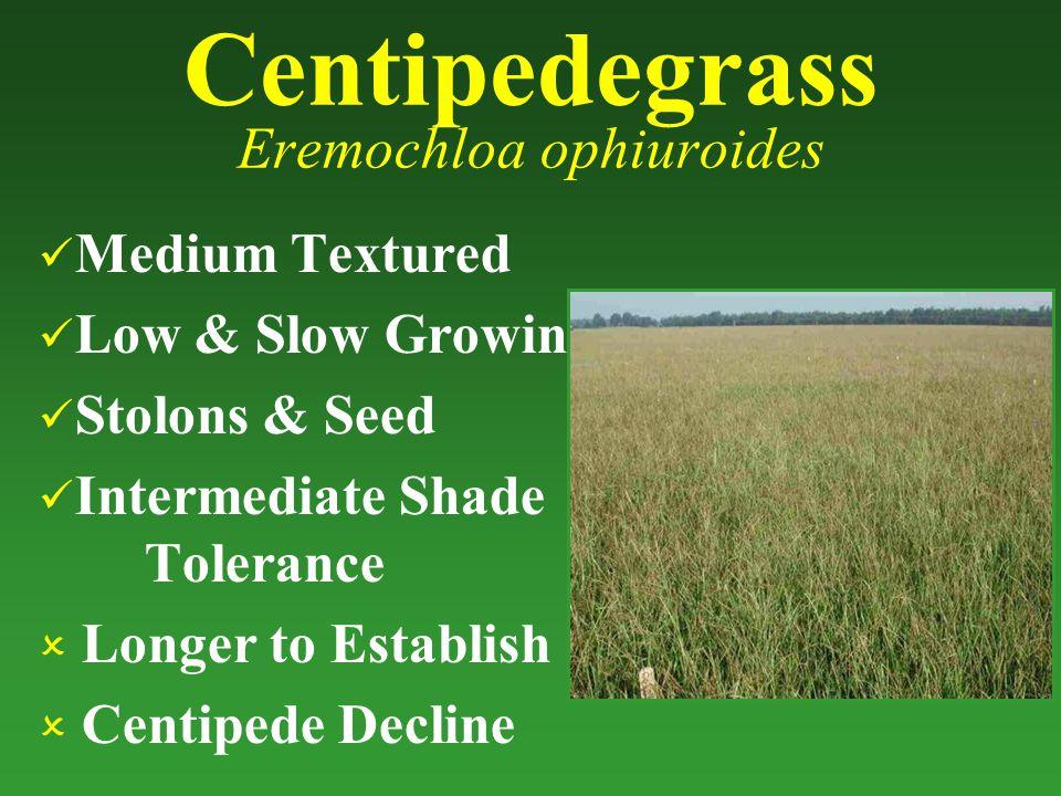 Centipedegrass Eremochloa ophiuroides Medium Textured Low & Slow Growing Stolons & Seed Intermediate Shade Tolerance  Longer to Establish  Centipede Decline
