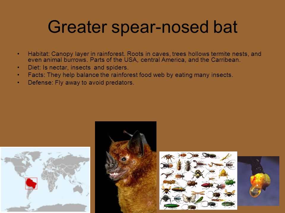 Greater spear-nosed bat Habitat: Canopy layer in rainforest. Roots in caves, trees hollows termite nests, and even animal burrows. Parts of the USA, c