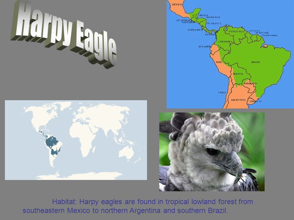 Habitat: Harpy eagles are found in tropical lowland forest from southeastern Mexico to northern Argentina and southern Brazil.