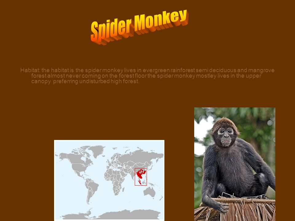 Habitat: the habitat is the spider monkey lives in evergreen rainforest semi deciduous and mangrove forest almost never coming on the forest floor the
