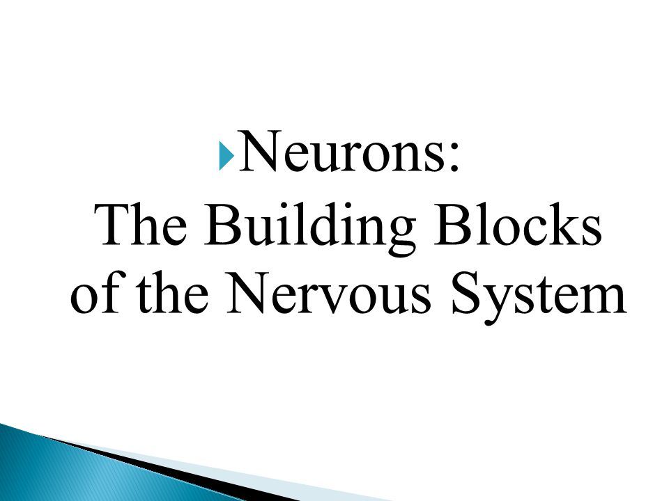  Neurons: The Building Blocks of the Nervous System