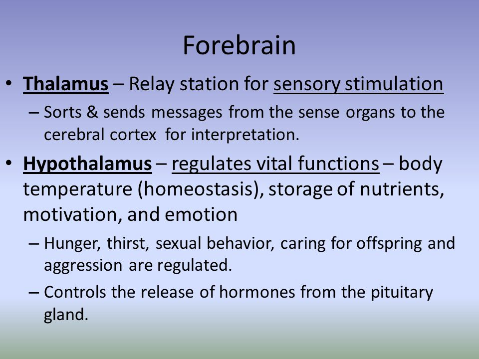 Forebrain Thalamus – Relay station for sensory stimulation – Sorts & sends messages from the sense organs to the cerebral cortex for interpretation. H