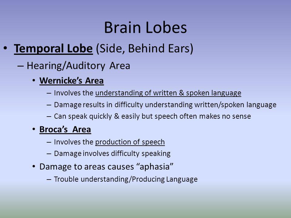 Brain Lobes Temporal Lobe (Side, Behind Ears) – Hearing/Auditory Area Wernicke's Area – Involves the understanding of written & spoken language – Dama