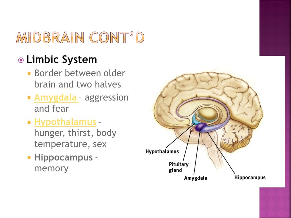  Limbic System  Border between older brain and two halves  Amygdala – aggression and fear Amygdala  Hypothalamus – hunger, thirst, body temperatur