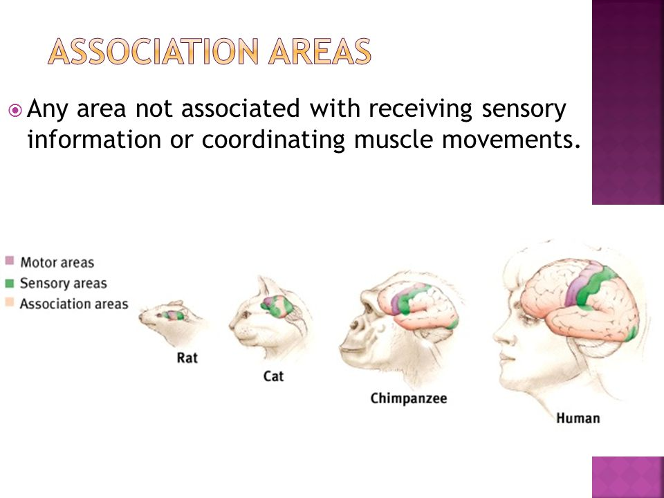  Any area not associated with receiving sensory information or coordinating muscle movements.