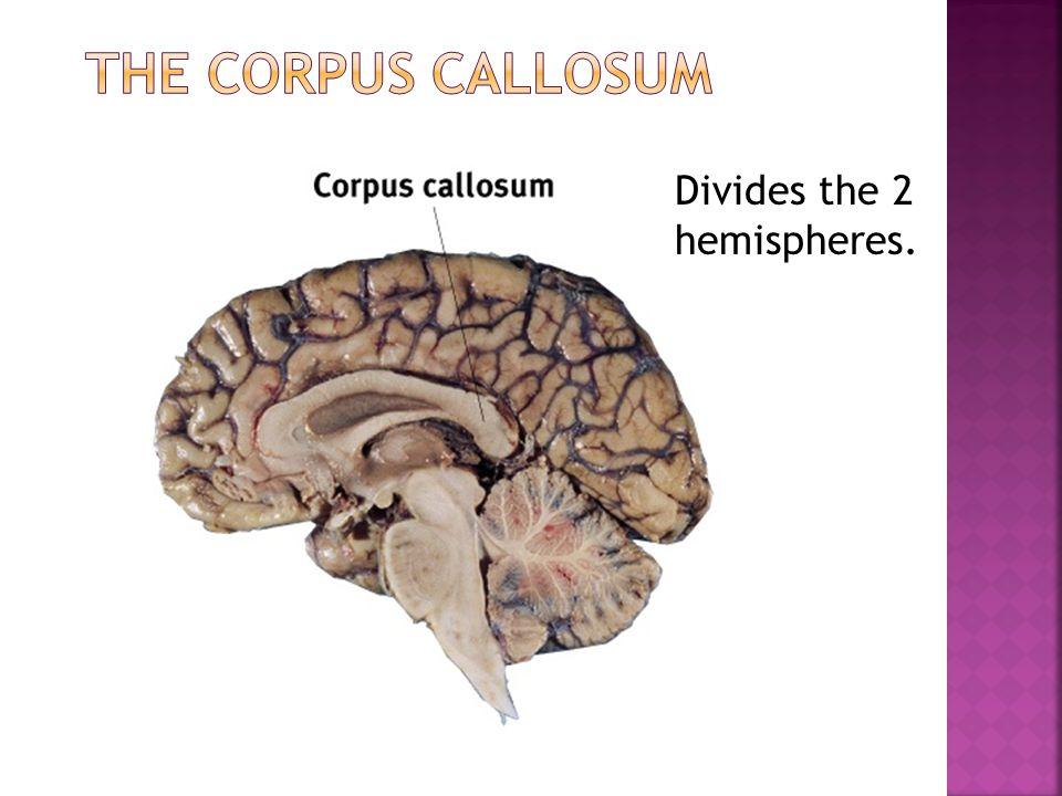 Divides the 2 hemispheres.