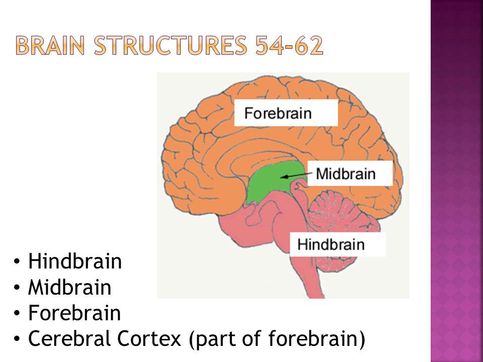 Hindbrain Midbrain Forebrain Cerebral Cortex (part of forebrain)