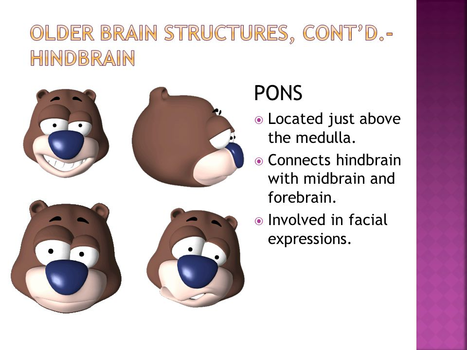 PONS  Located just above the medulla.  Connects hindbrain with midbrain and forebrain.  Involved in facial expressions.