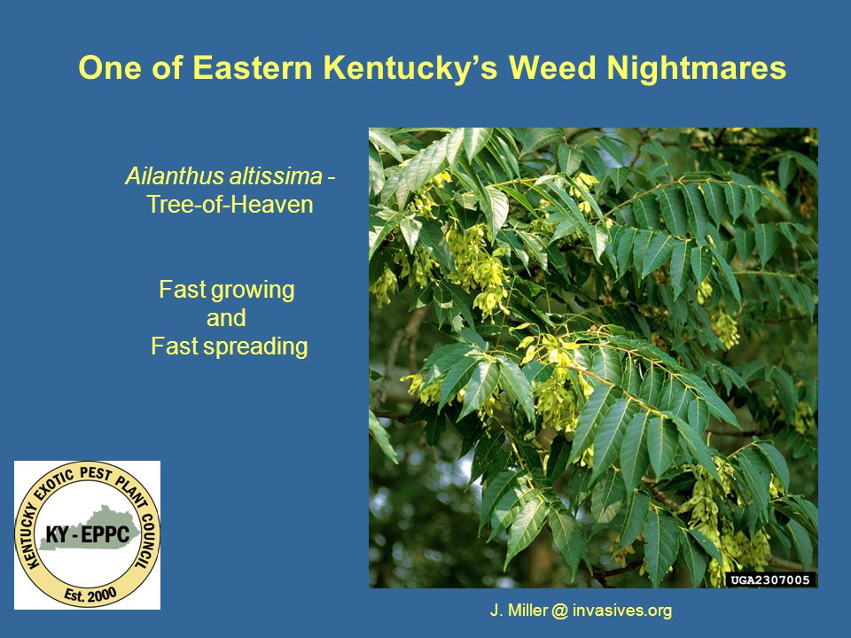 One of Eastern Kentucky's Weed Nightmares Ailanthus altissima - Tree-of-Heaven Fast growing and Fast spreading J.