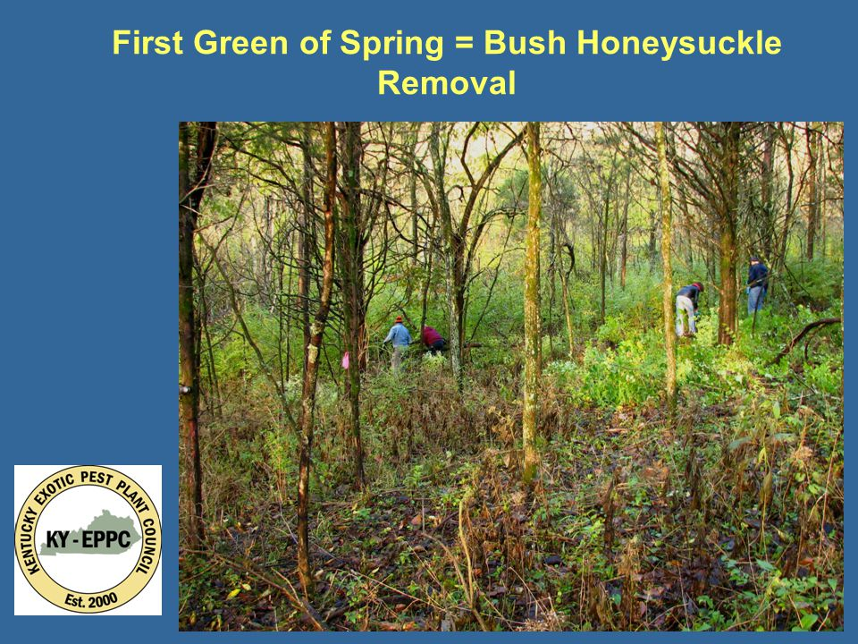 First Green of Spring = Bush Honeysuckle Removal