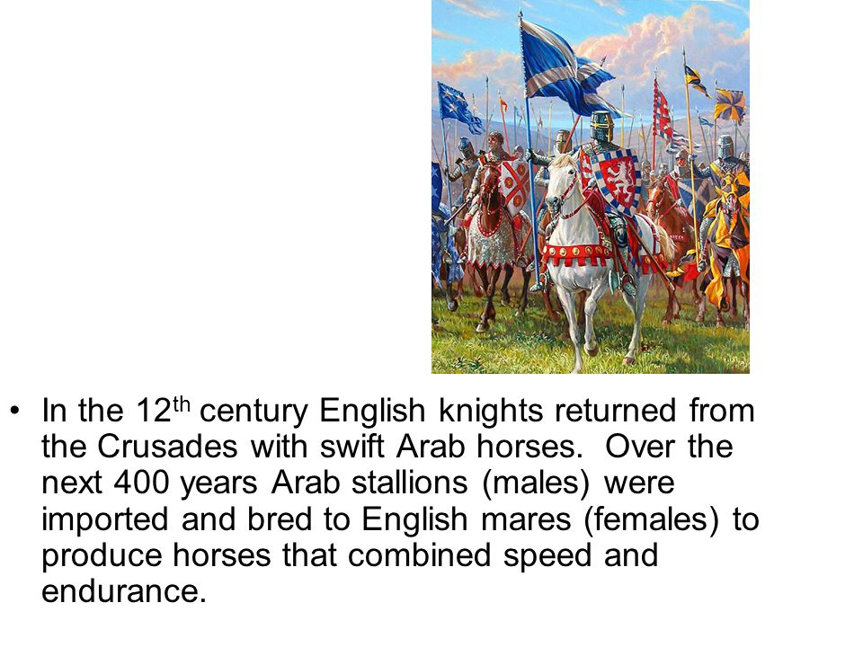 In the 12 th century English knights returned from the Crusades with swift Arab horses.