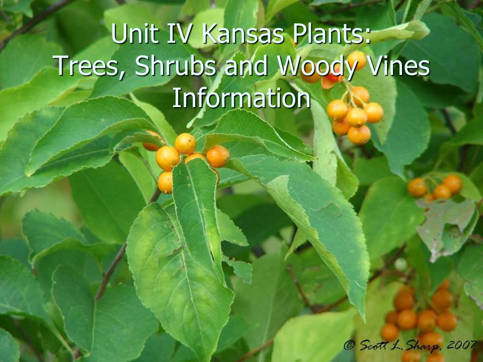 Unit IV Kansas Plants: Trees, Shrubs and Woody Vines Information