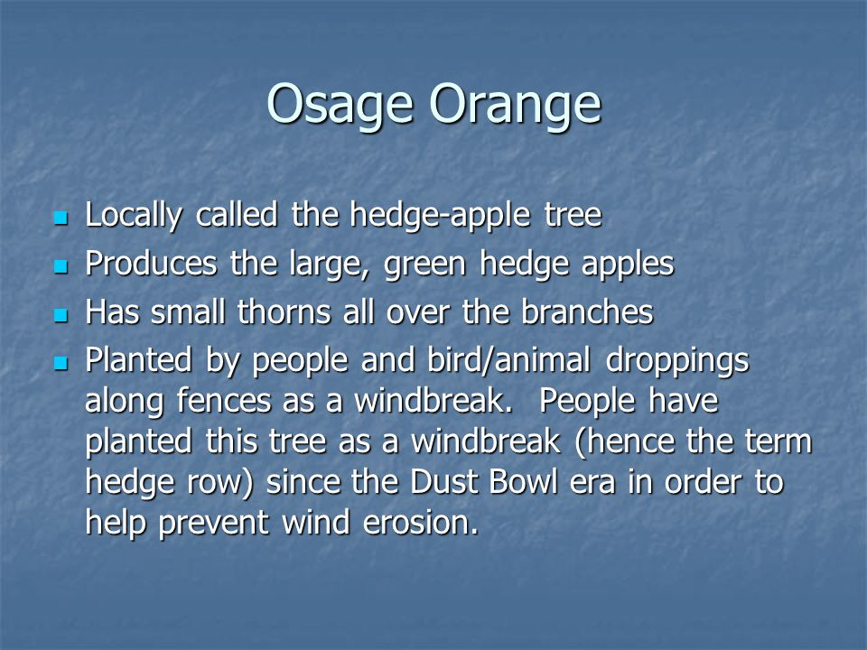 Osage Orange Locally called the hedge-apple tree Locally called the hedge-apple tree Produces the large, green hedge apples Produces the large, green