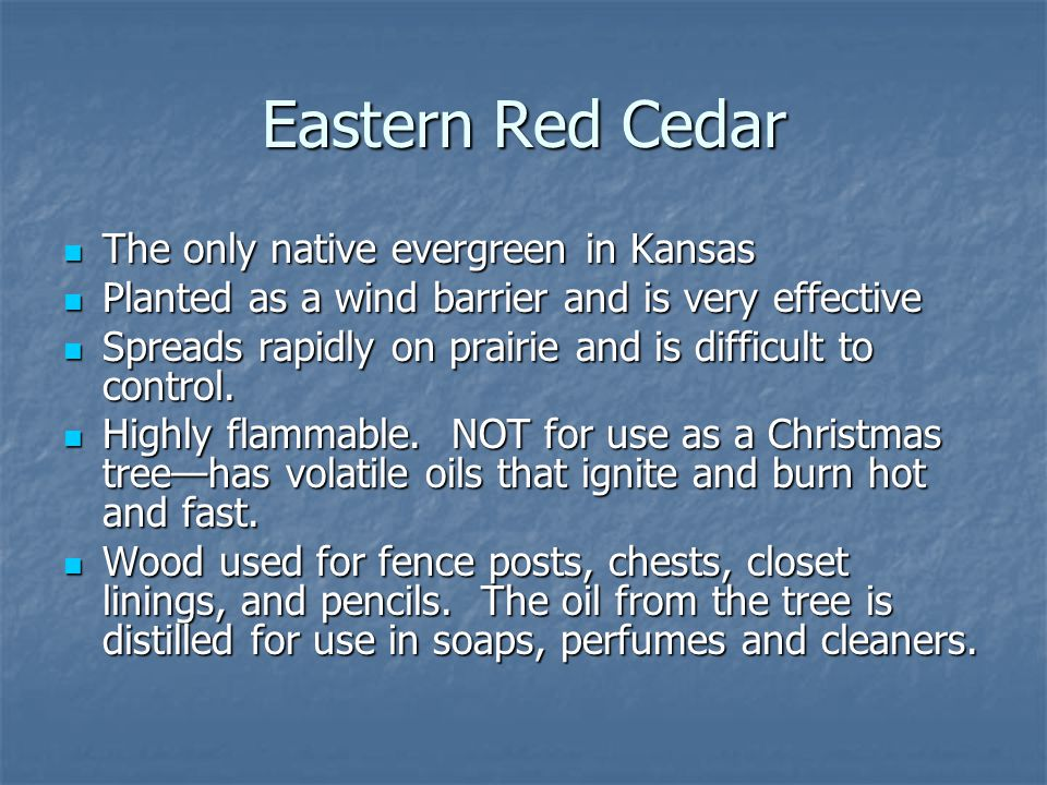 Eastern Red Cedar The only native evergreen in Kansas The only native evergreen in Kansas Planted as a wind barrier and is very effective Planted as a