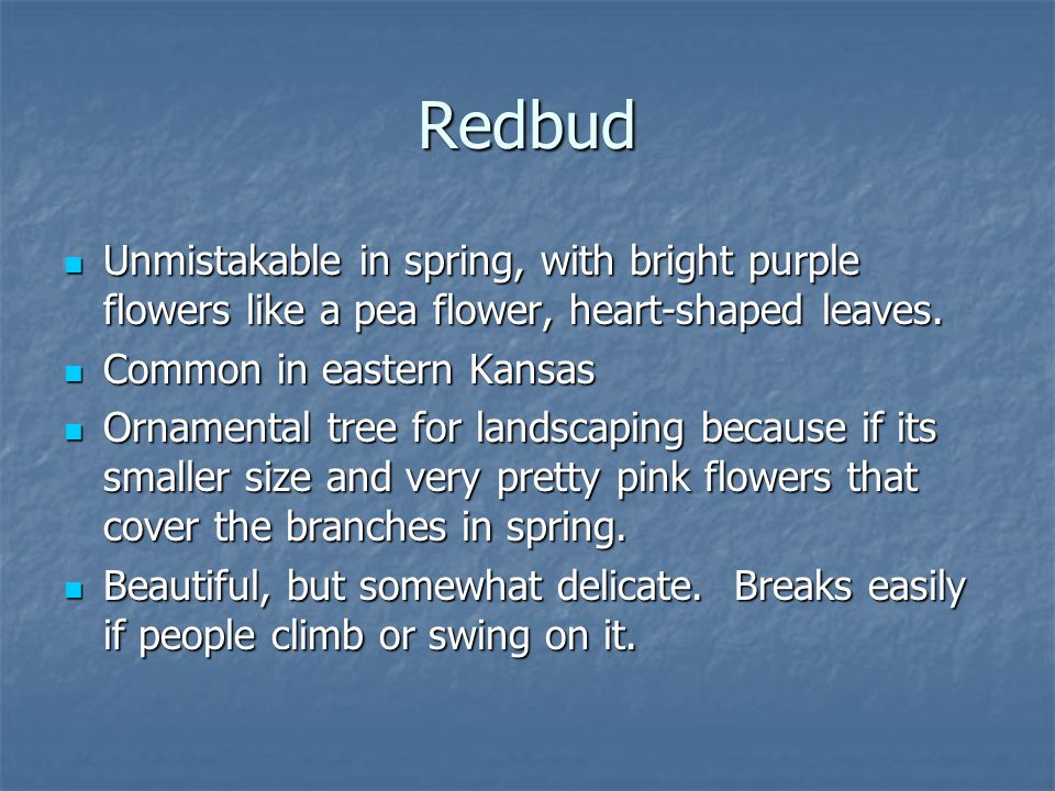 Redbud Unmistakable in spring, with bright purple flowers like a pea flower, heart-shaped leaves. Unmistakable in spring, with bright purple flowers l