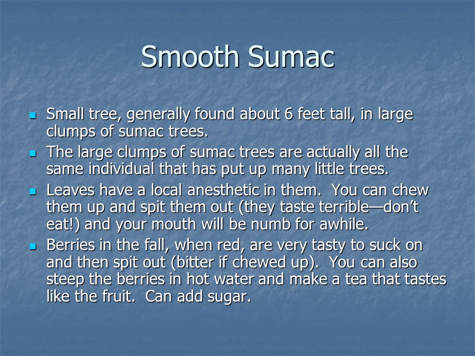 Small tree, generally found about 6 feet tall, in large clumps of sumac trees. Small tree, generally found about 6 feet tall, in large clumps of sumac