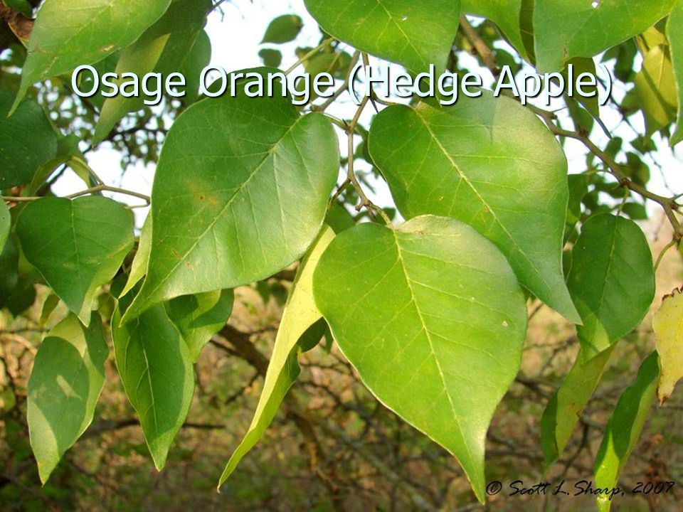 Osage Orange (Hedge Apple)