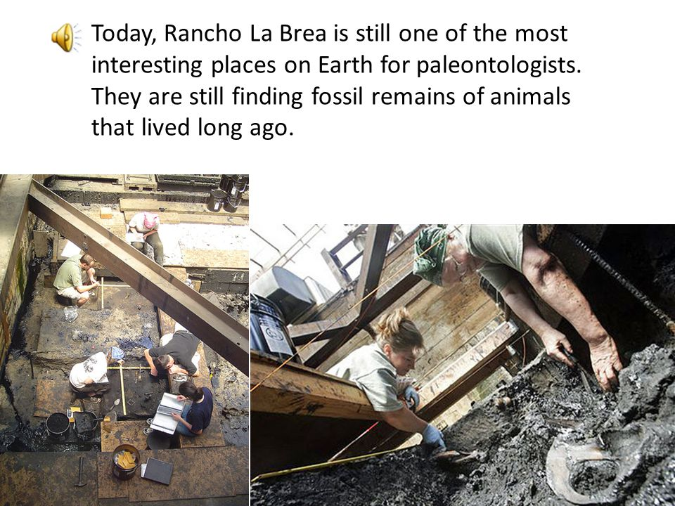 // The preserved bones of more than a million animals have been excavated from the asphalt. Rancho La Brea is world famous for the fossils that have b