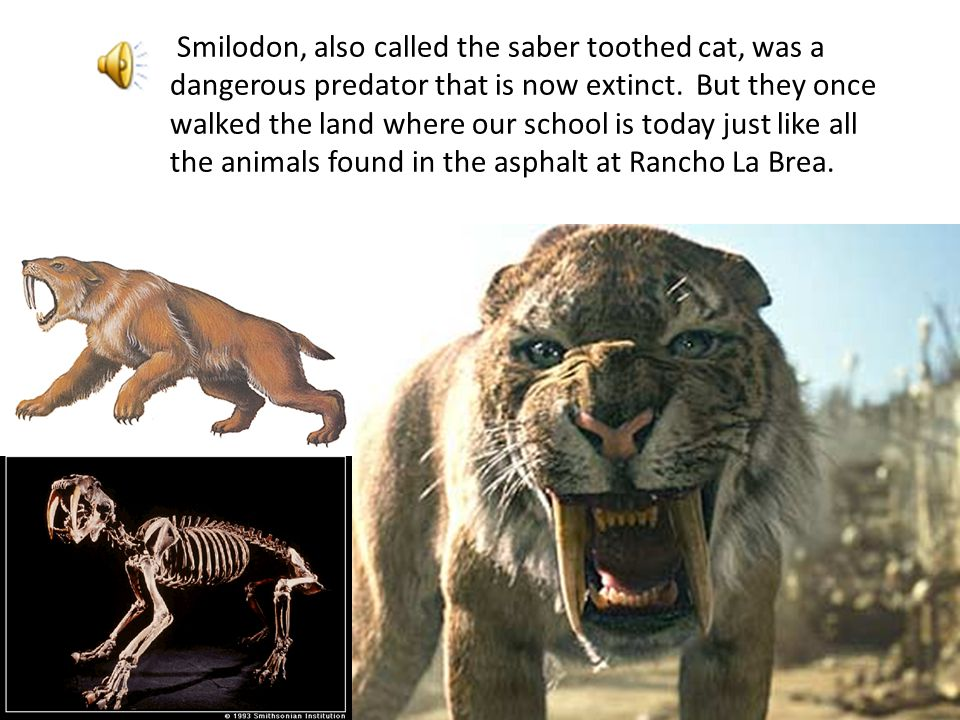 // The remains of large felines (cats) were excavated from Rancho La Brea. The American lion does not live in North America today, but was a very clos