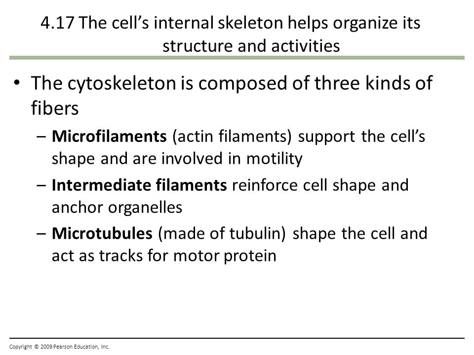 Elodea Cell Shape Support The Cell 39 s Shape