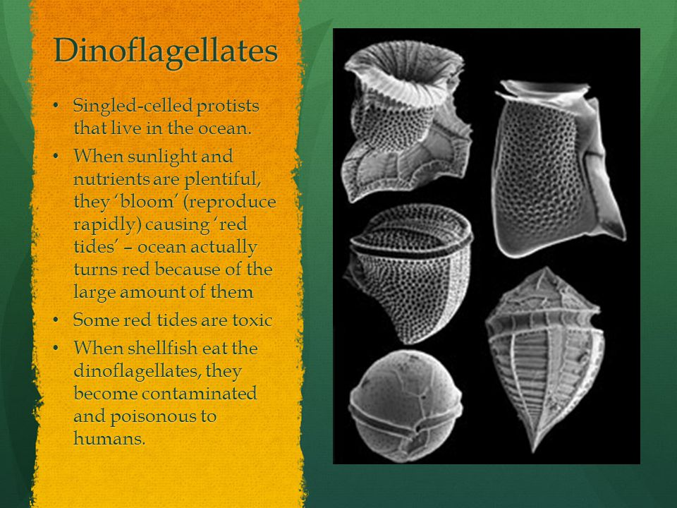 Dinoflagellates Singled-celled protists that live in the ocean. Singled-celled protists that live in the ocean. When sunlight and nutrients are plenti