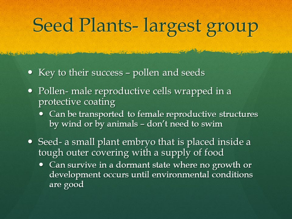 Two main groups of seed plants- conifers and flowering plants Conifers- redwoods, pines, cedars & firs Conifers- redwoods, pines, cedars & firs gymnosperms gymnosperms Waxy, needle-like leaves Waxy, needle-like leaves Reproductive structures called cones Reproductive structures called cones Male cones produce pollen that is carried by the wind to female cones Male cones produce pollen that is carried by the wind to female cones Fertilization occurs in the female cones and seeds are eventually dropped form the female cones Fertilization occurs in the female cones and seeds are eventually dropped form the female cones