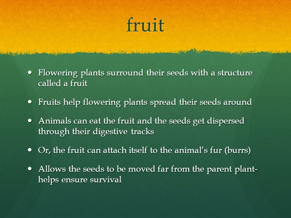 Important: Fruit is the name for the seed covering of a flowering plant- it refers not to just our 'fruits' but also many of our vegetables