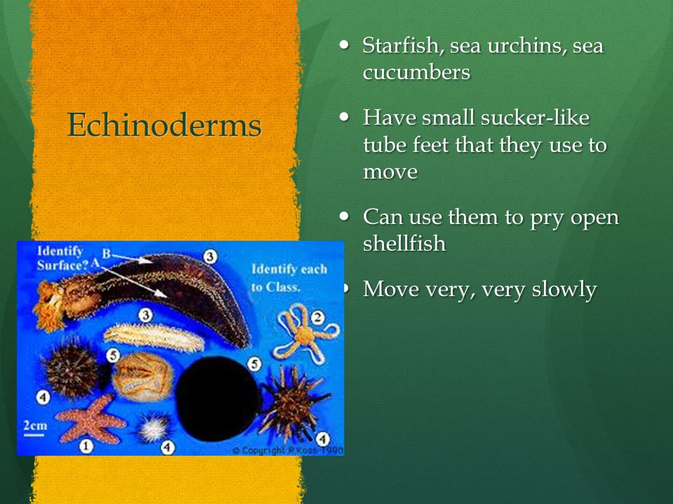 Echinoderms Starfish, sea urchins, sea cucumbers Starfish, sea urchins, sea cucumbers Have small sucker-like tube feet that they use to move Have smal