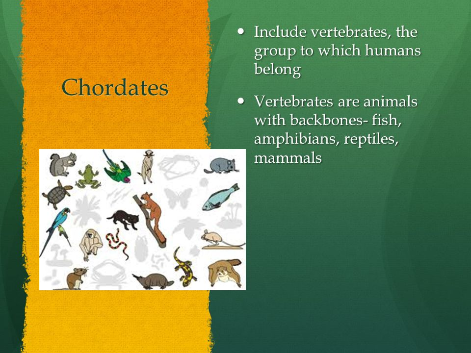 Chordates Include vertebrates, the group to which humans belong Include vertebrates, the group to which humans belong Vertebrates are animals with bac