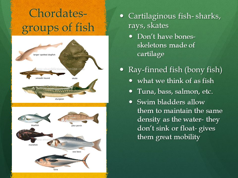 Chordates- groups of fish Cartilaginous fish- sharks, rays, skates Cartilaginous fish- sharks, rays, skates Don't have bones- skeletons made of cartil