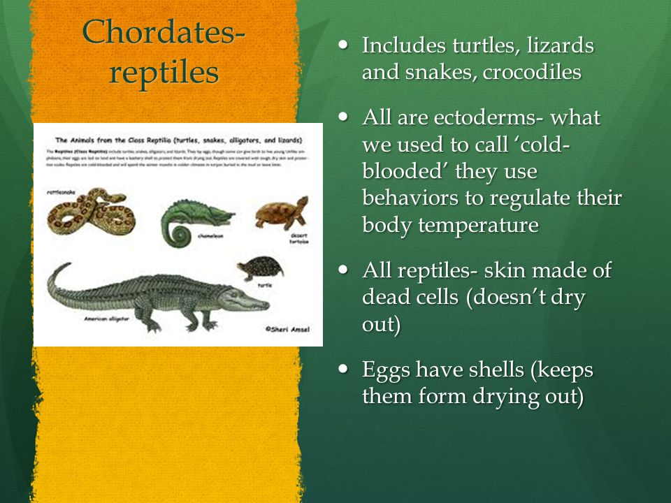 Chordates- reptiles Includes turtles, lizards and snakes, crocodiles Includes turtles, lizards and snakes, crocodiles All are ectoderms- what we used