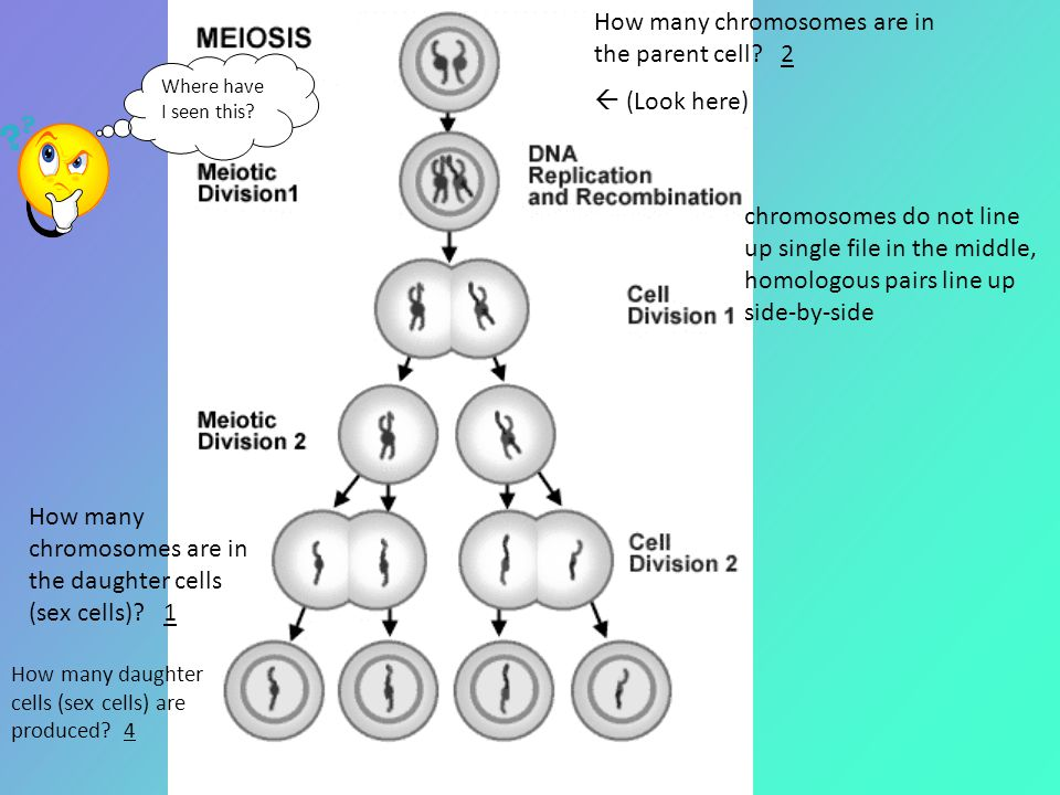 How many chromosomes are in the daughter cells (sex cells)? 1 How many daughter cells (sex cells) are produced? 4 chromosomes do not line up single fi