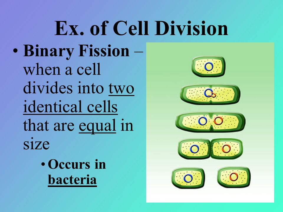 Ex. of Cell Division Binary Fission – when a cell divides into two identical cells that are equal in size Occurs in bacteria