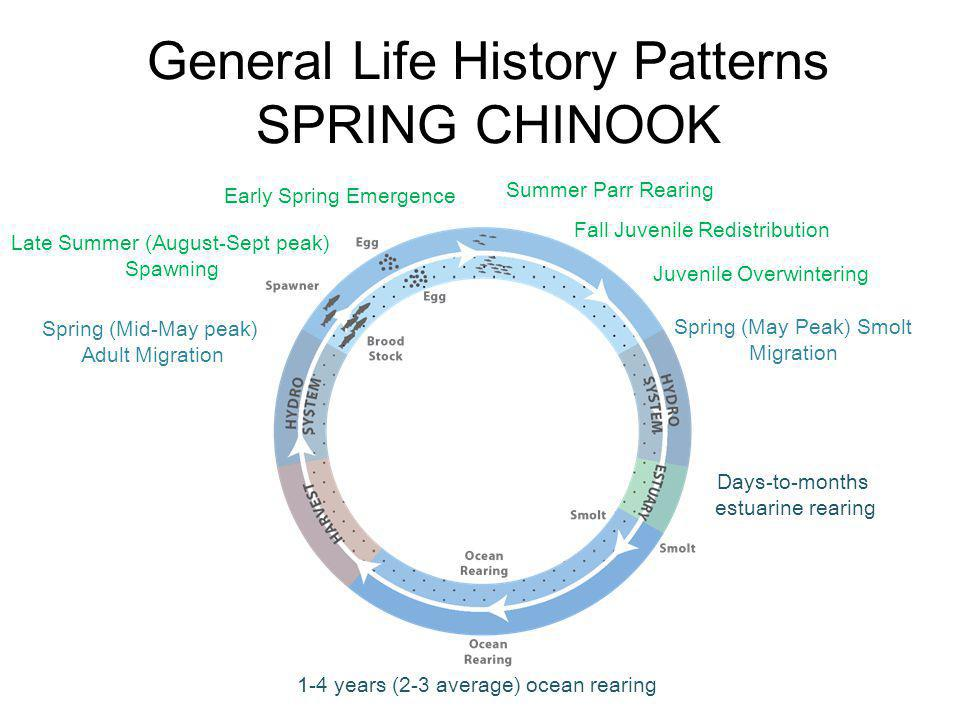 General Life History Patterns SPRING CHINOOK Spring (Mid-May peak) Adult Migration Late Summer (August-Sept peak) Spawning Early Spring Emergence Summ