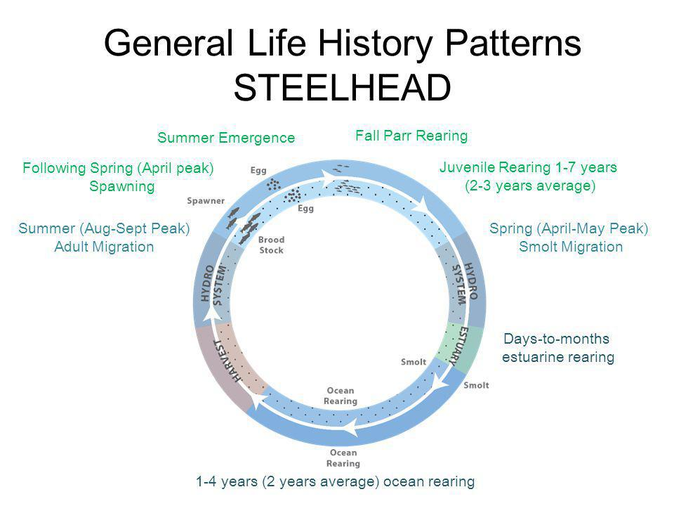 General Life History Patterns STEELHEAD Summer (Aug-Sept Peak) Adult Migration Following Spring (April peak) Spawning Summer Emergence Fall Parr Rearing Juvenile Rearing 1-7 years (2-3 years average) Spring (April-May Peak) Smolt Migration Days-to-months estuarine rearing 1-4 years (2 years average) ocean rearing