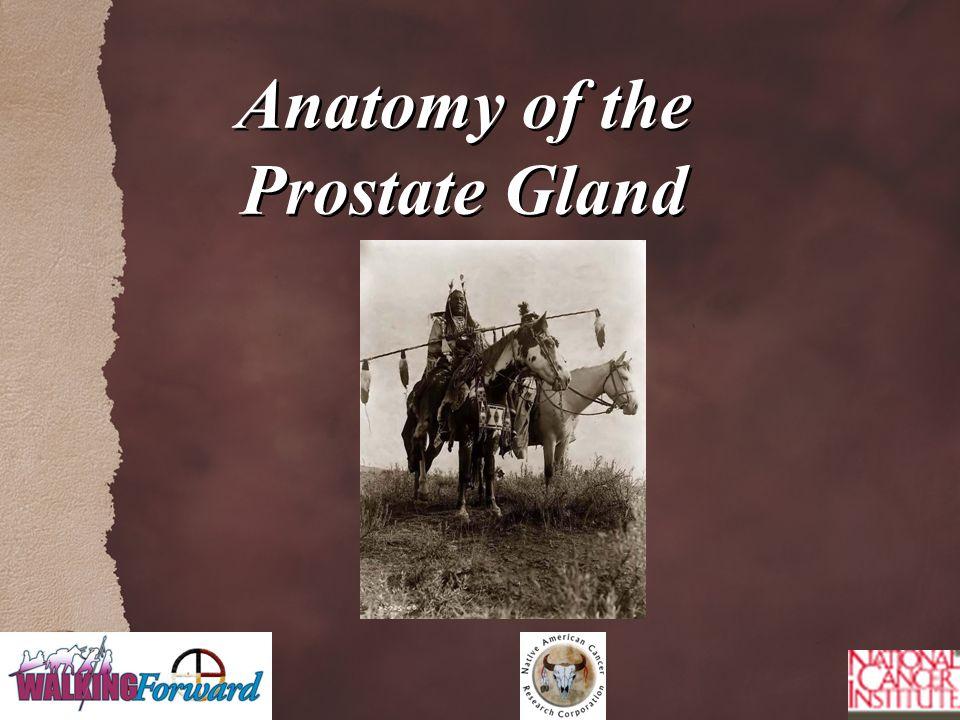 Anatomy of the Prostate Gland