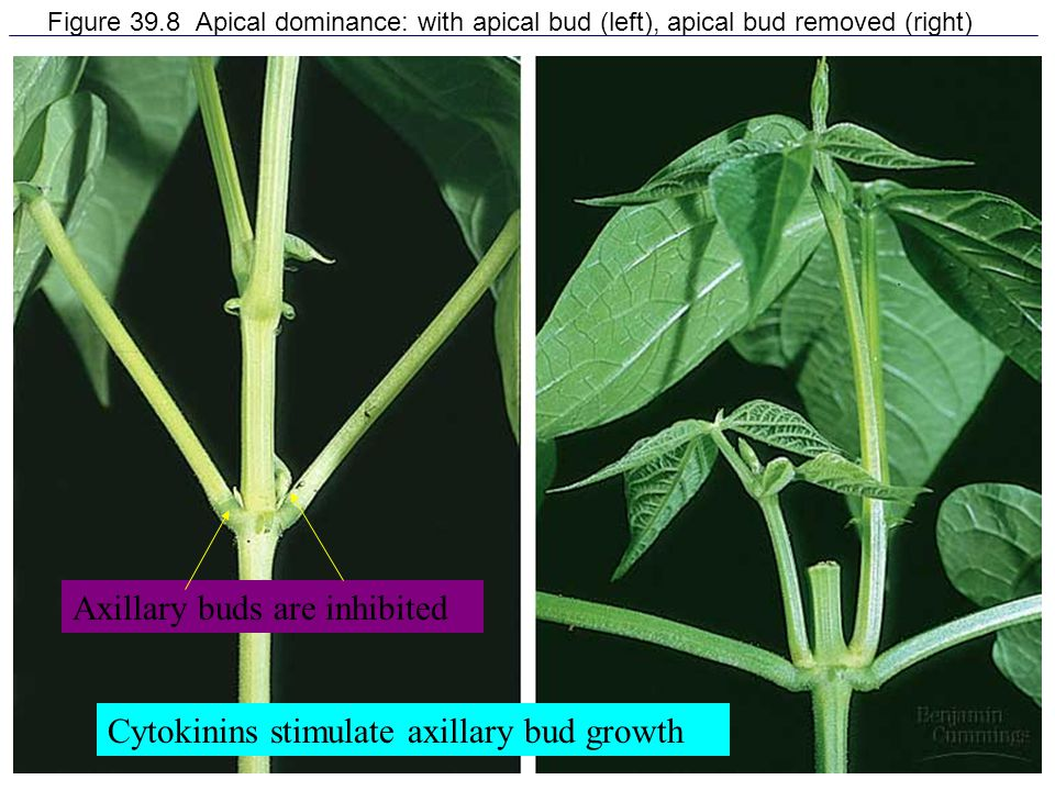 15 Figure 39.8 Apical dominance: with apical bud (left), apical bud removed (right) Axillary buds are inhibited Cytokinins stimulate axillary bud grow