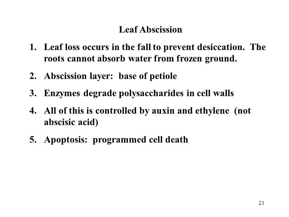 21 Leaf Abscission 1.Leaf loss occurs in the fall to prevent desiccation. The roots cannot absorb water from frozen ground. 2.Abscission layer: base o