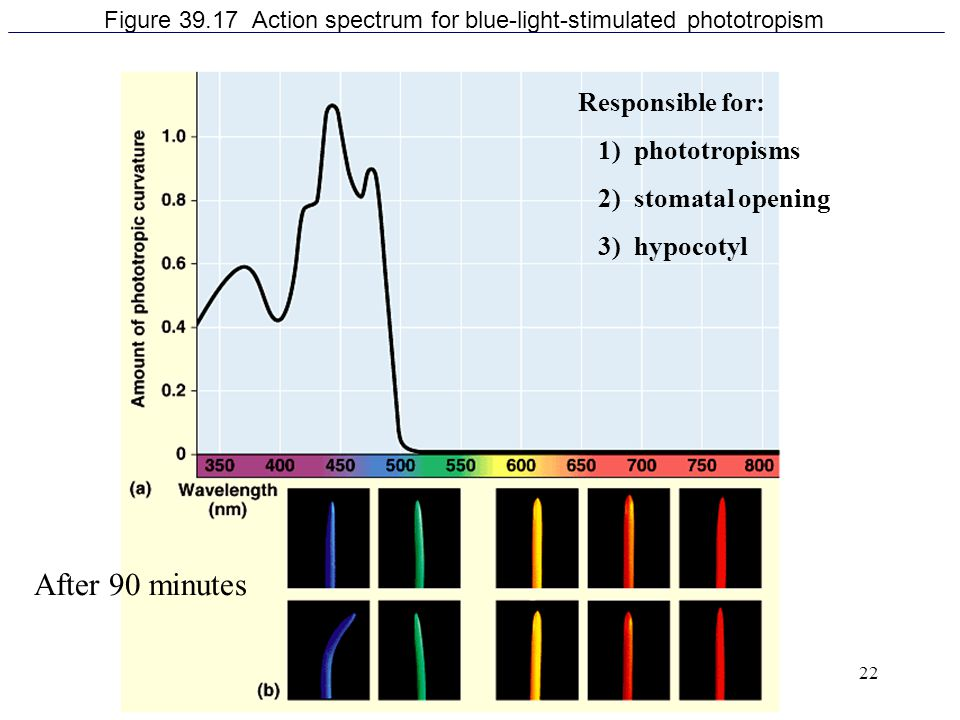 22 Figure 39.17 Action spectrum for blue-light-stimulated phototropism Responsible for: 1) phototropisms 2) stomatal opening 3) hypocotyl After 90 min