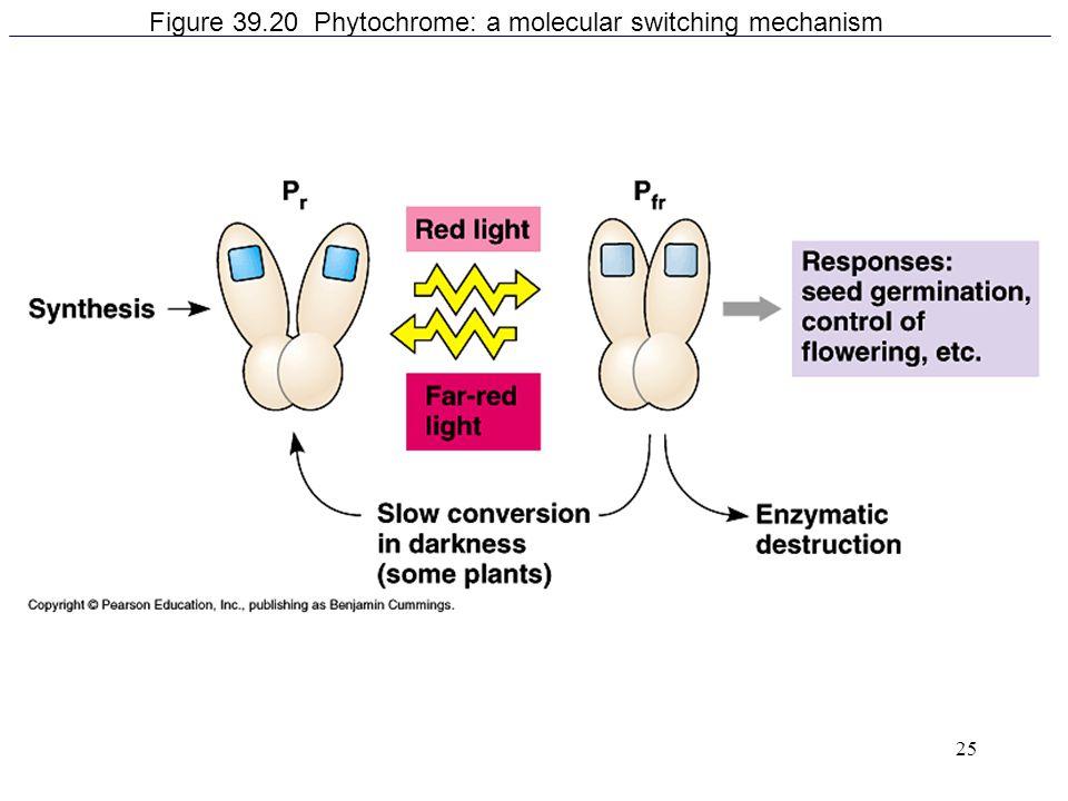 25 Figure 39.20 Phytochrome: a molecular switching mechanism