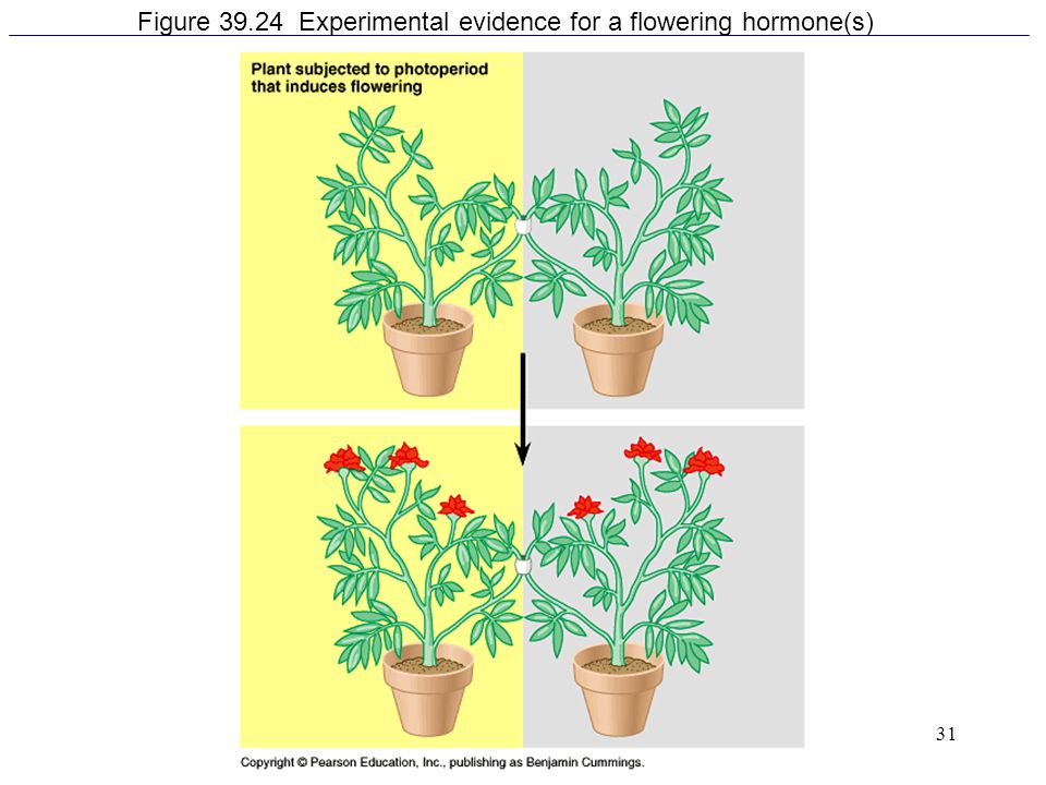 31 Figure 39.24 Experimental evidence for a flowering hormone(s)