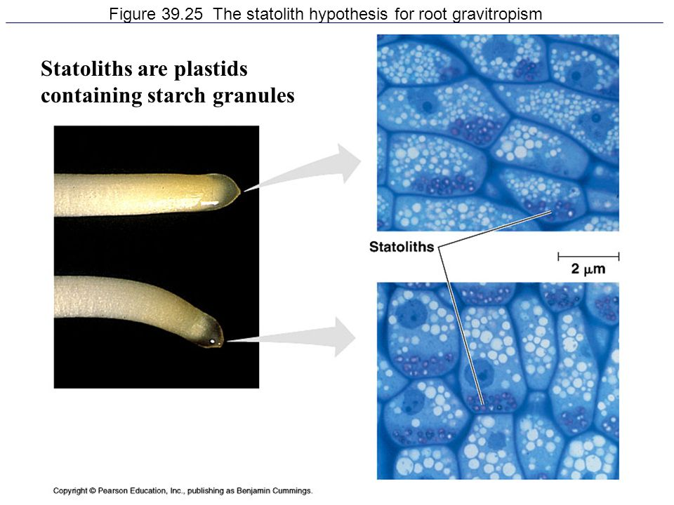 38 Figure 39.25 The statolith hypothesis for root gravitropism Statoliths are plastids containing starch granules