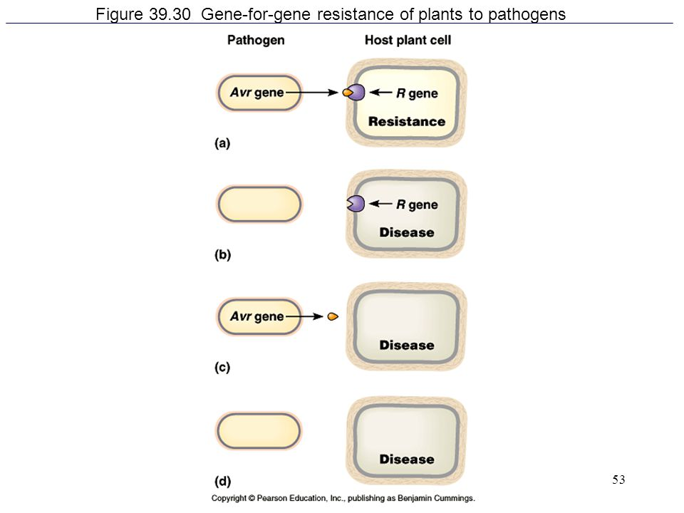 53 Figure 39.30 Gene-for-gene resistance of plants to pathogens