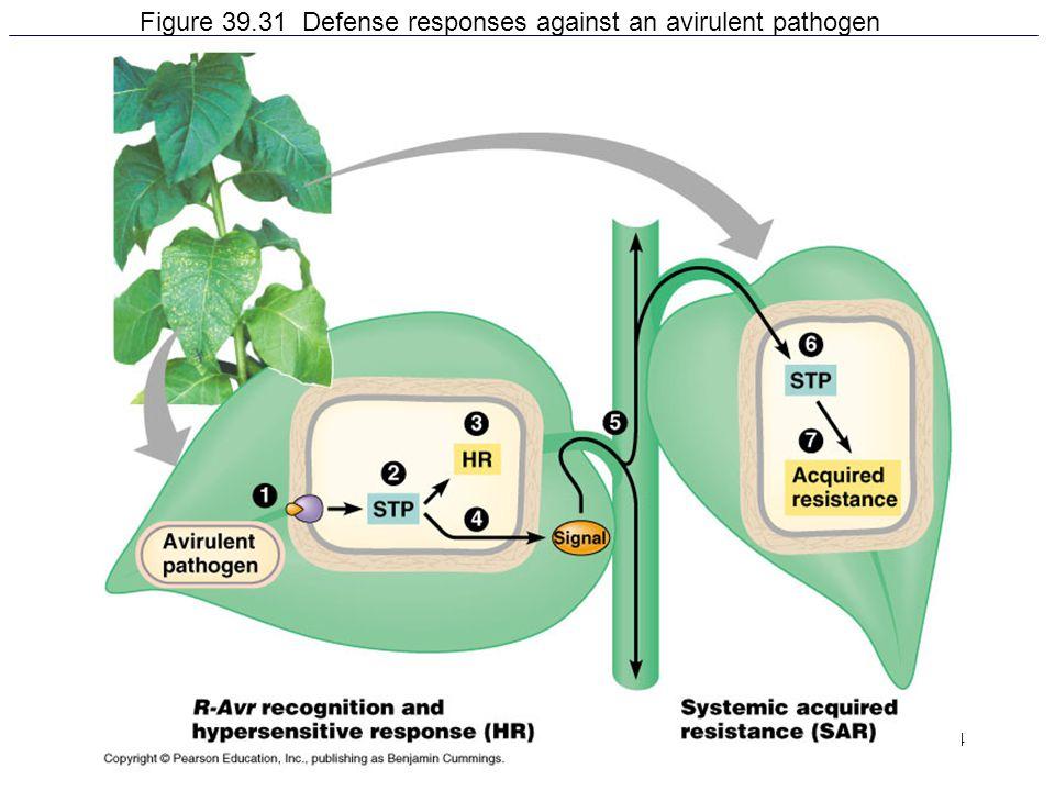 54 Figure 39.31 Defense responses against an avirulent pathogen