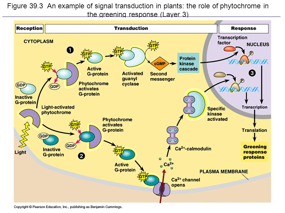 6 Figure 39.3 An example of signal transduction in plants: the role of phytochrome in the greening response (Layer 3)